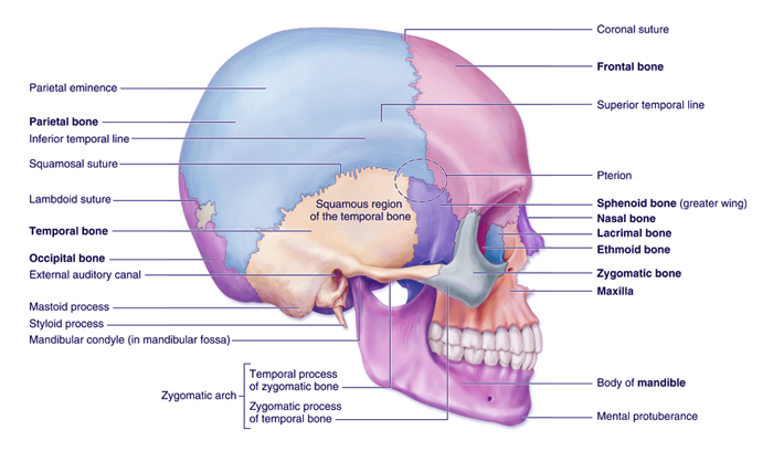 skull-right-lateral-view.jpg